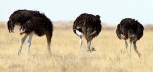 ostrich_istock