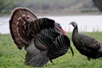 pair-of-wild-turkey-birds-m